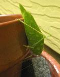 Leaf bug in the rain