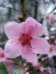 Another pretty peach blossom