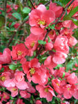 Japanese Flowering Quince (Pink)