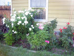 My rose garden (needs to be weeded!)