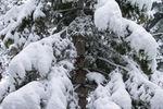 Snowy Tree (10-26-04)
