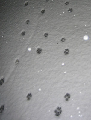 Coyote prints in our driveway
