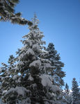 more snowy trees (01-15-06)
